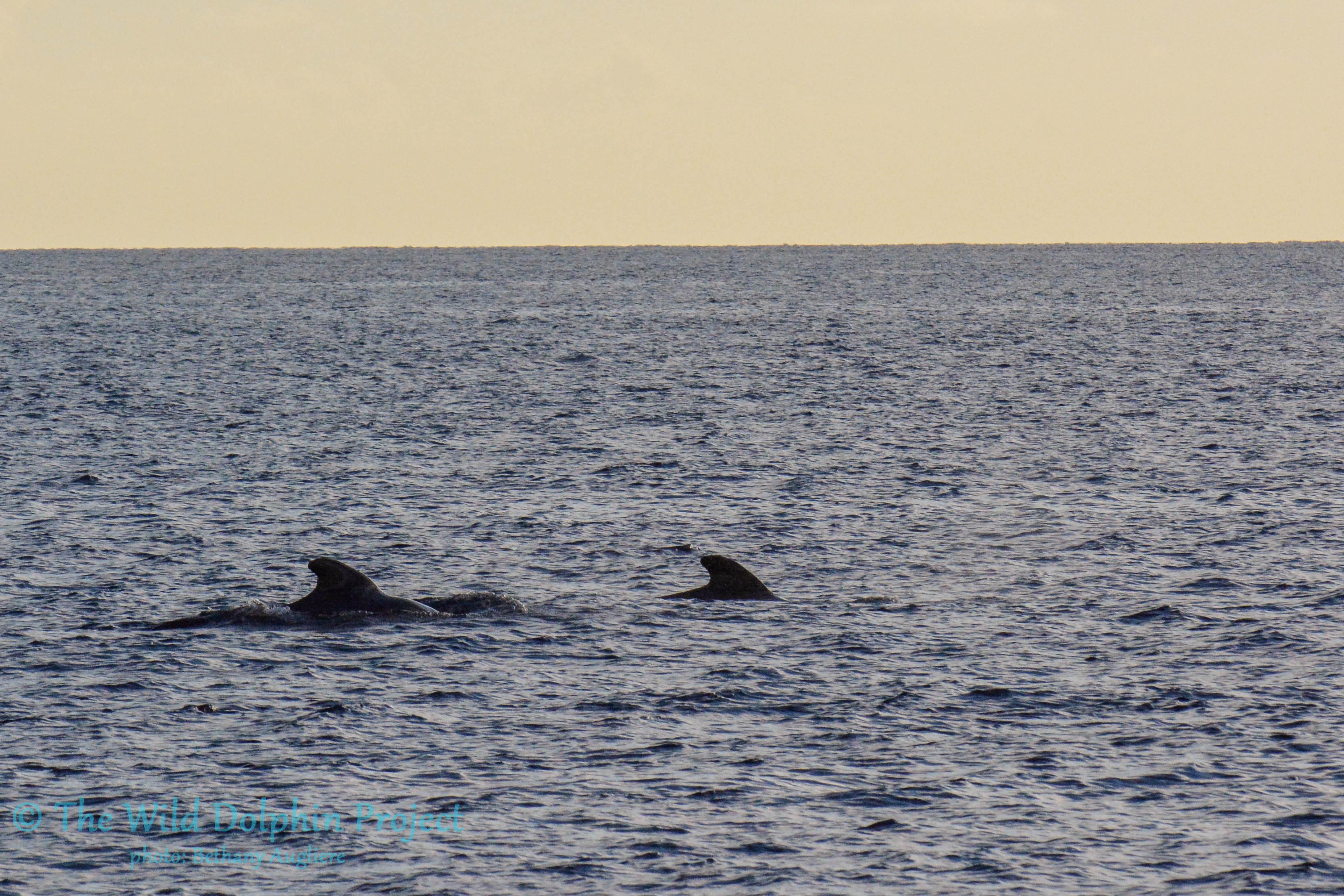 A large group of traveling Pilot Whales, including a mother and a calf, show up at sunset in the Gulf Stream