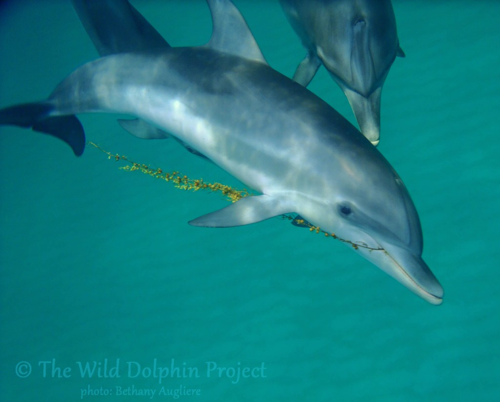 A young calf plays with sargassum seaweed, a natural toy for dolphins.
