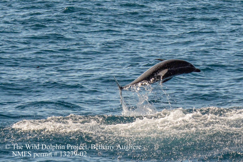 A young spotted dolphin with a remora ( a type of suckerfish that latches onto the dolphins) leaps out of the water, potentially trying to knock off the fish.