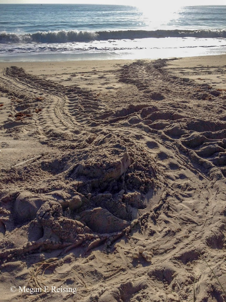 A female leatherback nest crawl at Hutchinson Island, FL. Nests are marked off to determine the effects of beach renourishment on sea turlte nesting levels and reproductive success.