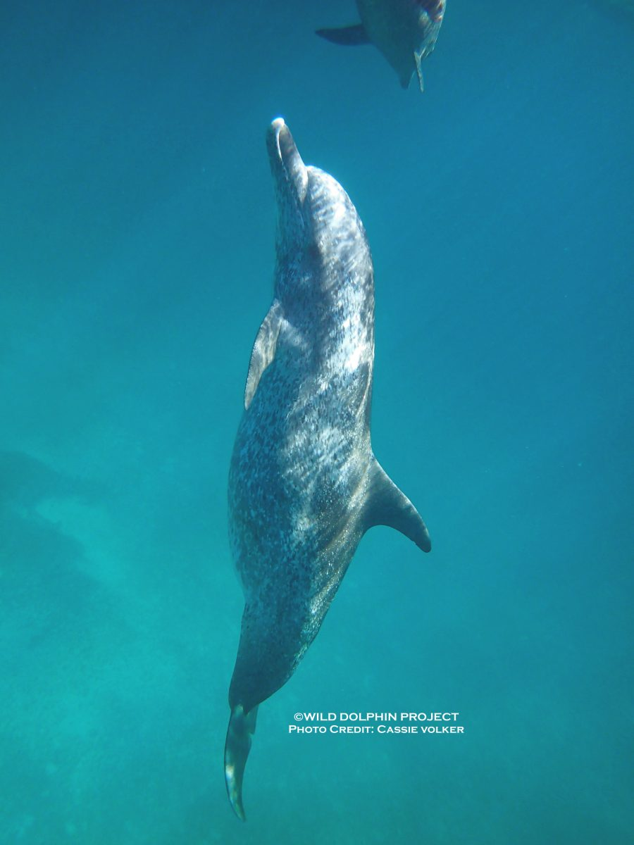 Wild Dolphin Project – 2018 Field Season: Trip 8 & E A R  update